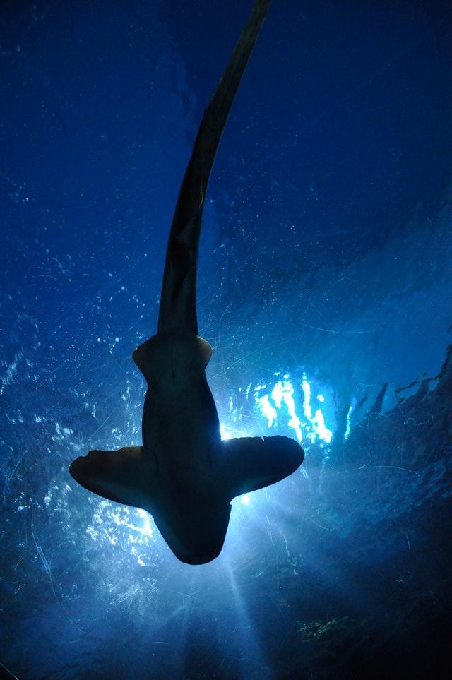 shark-fish-hammerhead-shark-aquarium-67854