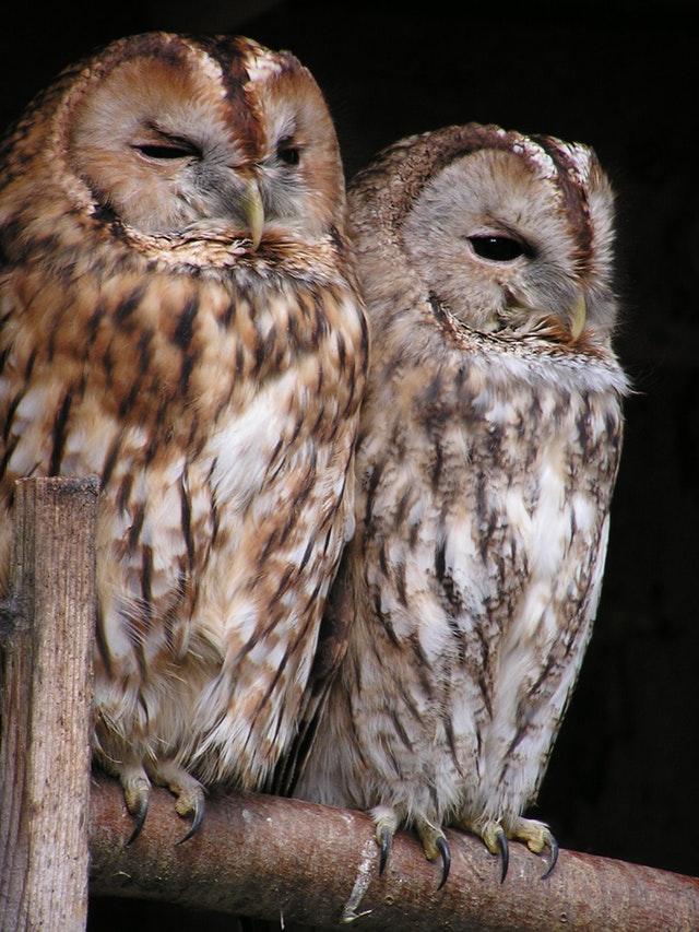 tawny-owl-owl-bird-birds-66904
