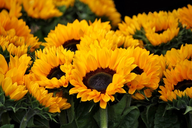 sunflower-blossom-bloom-flowers-54267
