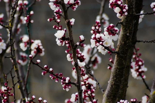 depth-of-field-photography-of-cherry-blossom-tree-860833.jpg